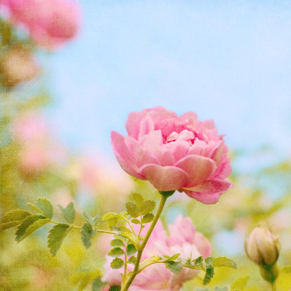 Sweetness Rose Flower Photograph Art Print on Luulla